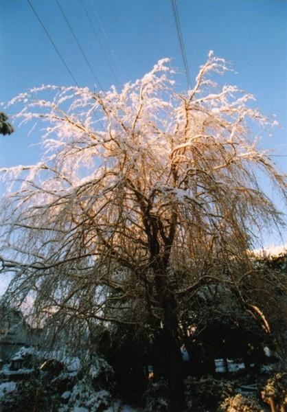 雪が積もった桜の木